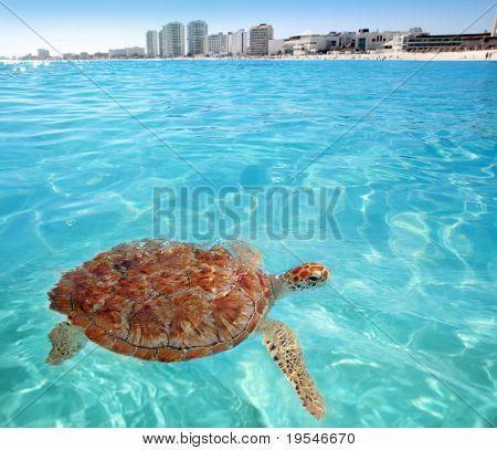 Green sea Turtle Caribbean sea surface Cancun Mexico Chelonia mydas
