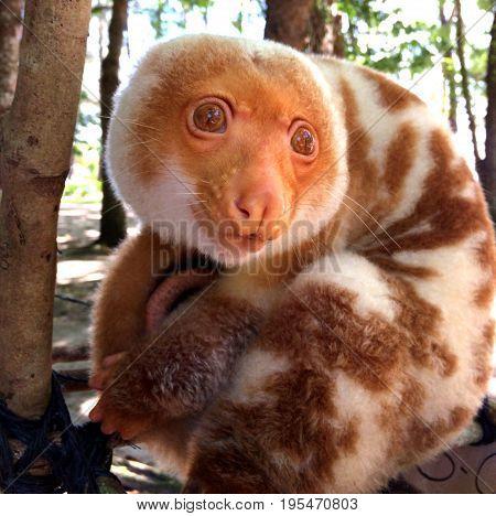 A Cuscus (possum Native To Papua New Guinea) On Doini Island.