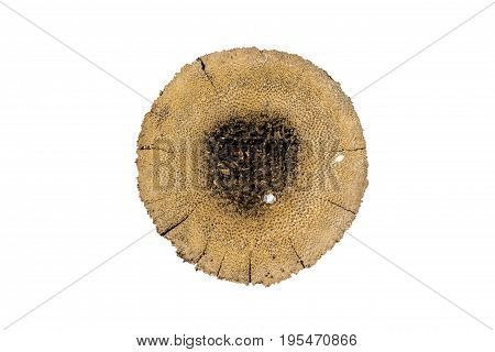 Cross section of coconut tree trunk isolated on white background. Background of top view of coconut tree stump with clipping path.