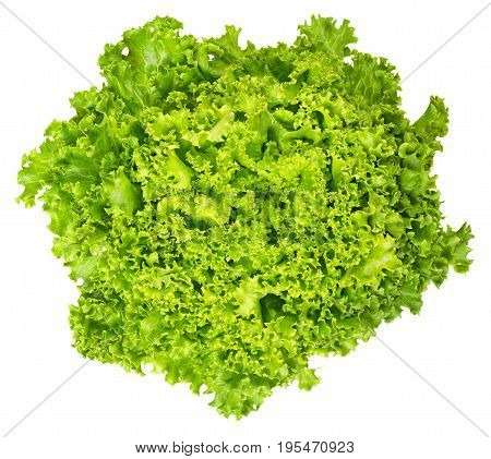 Lollo Bianco lettuce from above on white background. Lollo Bionda, summer crisp variety of Lactuca sativa. Loose-leaf lettuce. Green salad head with frilly leafs and wavy leaf margin. Closeup photo.