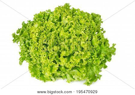 Lollo Bianco lettuce front view on white background. Lollo Bionda, summer crisp variety of Lactuca sativa. Loose-leaf lettuce. Green salad head with frilly leafs and wavy leaf margin. Closeup photo.