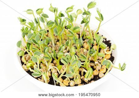 Young lupin bean plants in white plastic tray over white. Seedlings from lupini bean kernels in potting compost. Green sprouts and leafs of yellow speckled legume seeds. Lupinus mutabilis. Macro photo poster