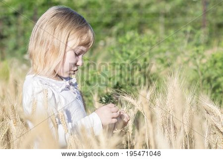 little girl tearing off wheat spikelets in field in summer day