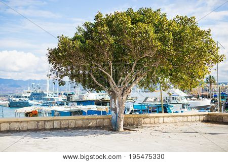 Tree in the port in Latchi, Cyprus.