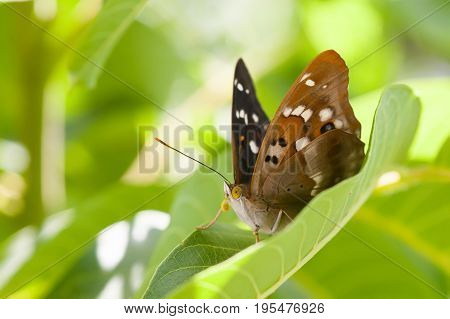 Butterfly macro view. Brown winged pattern insect on greenery leaf background, macro view shallow depth field.