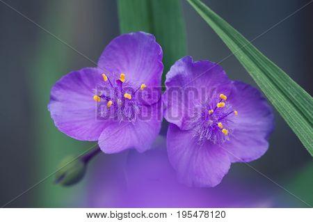 Tradescantia virginiana spiderwort herbaceous plant. Blooming violet flower garden landscape. Shallow depth field, selective focus