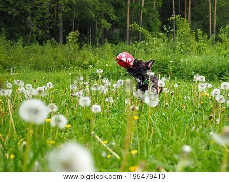 Dog with toy ball in the tall grass