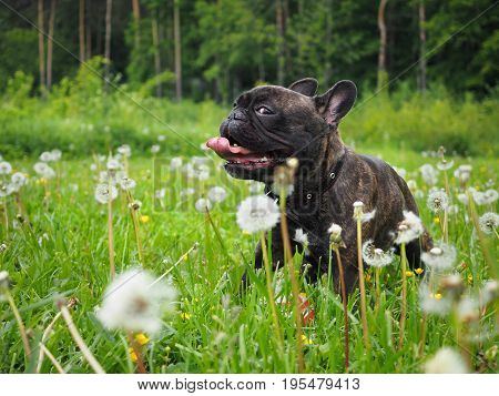 Funny sly dog with his tongue hanging out. High green grass