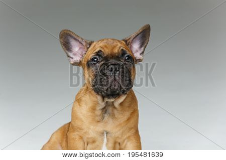 beautiful little French bulldog puppy dog. 2 months old. copy space.