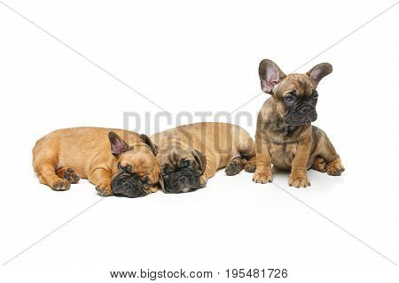 beautiful little French bulldog puppy dogs sleeping isolated on white. 2 months old. copy space.
