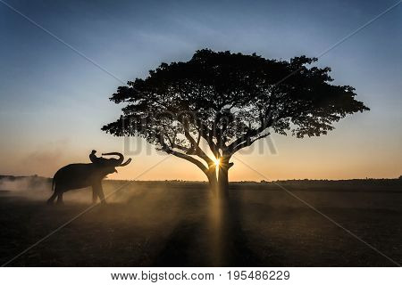 Silhouette elephant on the background of sunset in elephant village surin thailand.