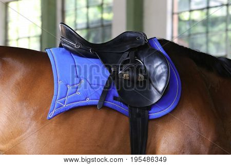 Horizontal shot of a black leather saddle with stirrups on back of a young stallion