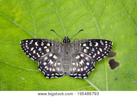 Image of The Spotted Angle Butterfly (Caprona agama agama Moore1858) on green leaves. Insect Animal.