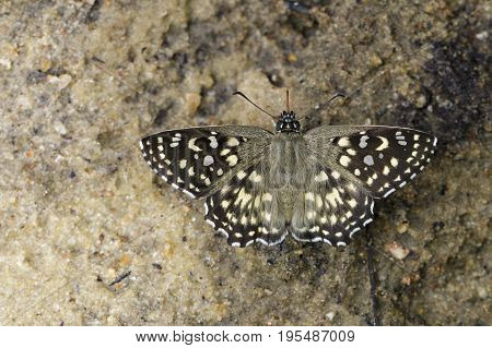 Image of The Spotted Angle Butterfly (Caprona agama agama Moore1858) on the ground. Insect Animal.