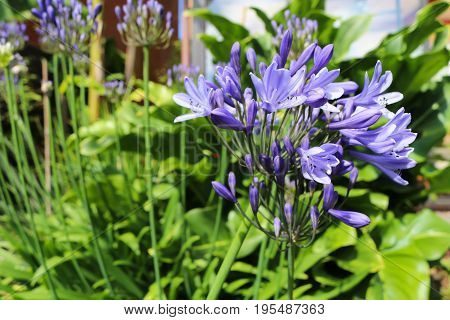 Purple flower of an agapanthus plant opening up