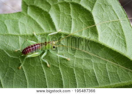 Image of cricket green on green leaves. Insect Animal.