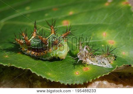 Image of Stinging Nettle Slug Caterpillar (Cup Moth Limacodidae)