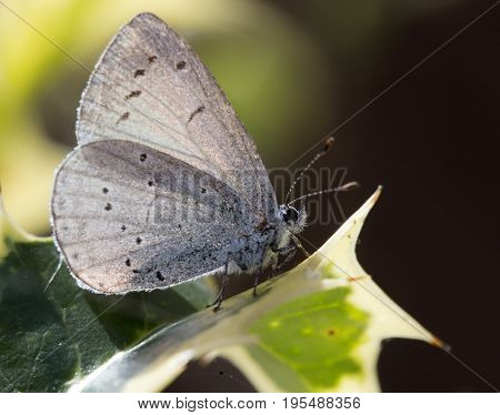 Holly Blue Butterfly (Celastrina argiolus) on a variegated holly leaf