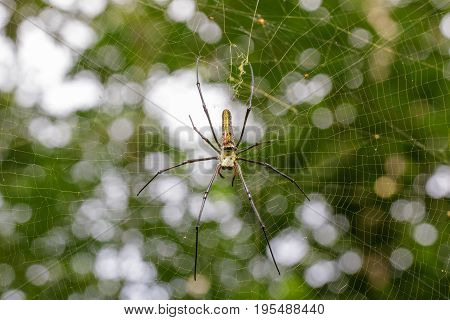 Image of Spider Nephila Maculata Gaint Long-jawed Orb-weaver (female and male) in the net. Insect Animal