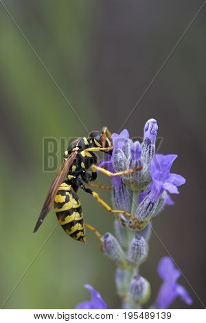Wasp on Lavandula (Lavender) with space for text