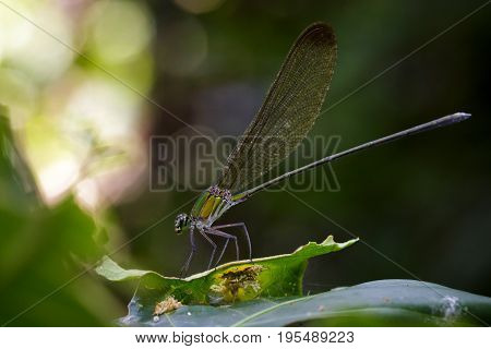 Image of Vestalis gracilis dragonfly(Amphipterygidae) on green leaves. Insect Animal.