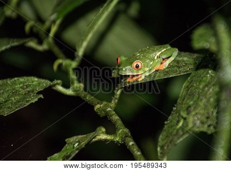 Red eyed frog in Costa Rica forest