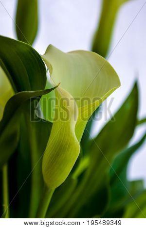Yellow zantedeschia aethiopica Calla lily Arum lily