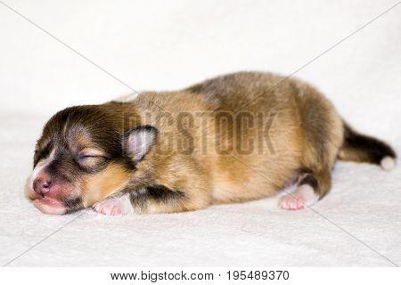 Gold beautiful fresh sheltie puppy dog lying on white background