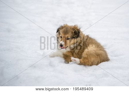 Gold sheltie puppy lying in the snow in winter. Dog portrait