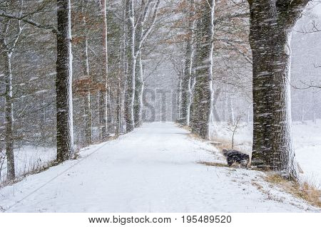 Winter landscape at snowstorm, forest covered at snow with hide dogs