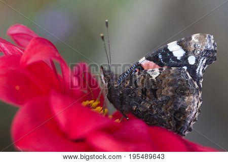 Closeup image of a Red Admiral Butterfly (Vanessa atalanta)
