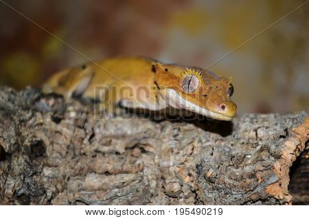 Yellow crested gecko, Correlophus ciliatus at branch
