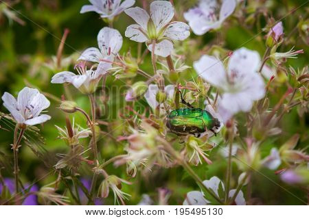 Cetonia aurata or Green Chafer beetle on a flowers flower field poster