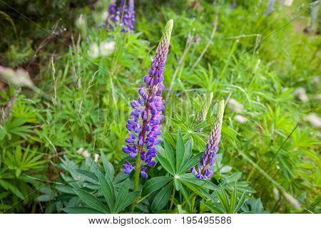 Blooming Wild Lupine flowers in a summer forest - Lupinus polyphyllus - garden or fodder plant