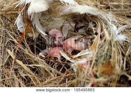 Small Birds In Nest