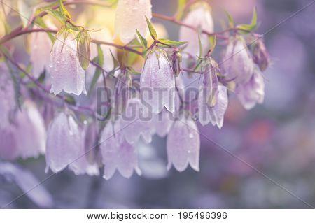 White flower bells on a purple background.
