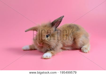 fluffy brown bunny sit on clean pink background, little rabbit