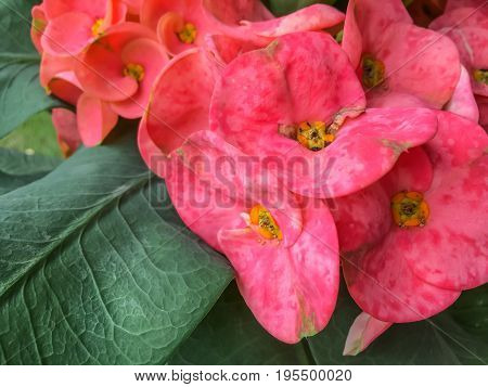 Crown of thorns flowers Euphorbia milli Desmoul