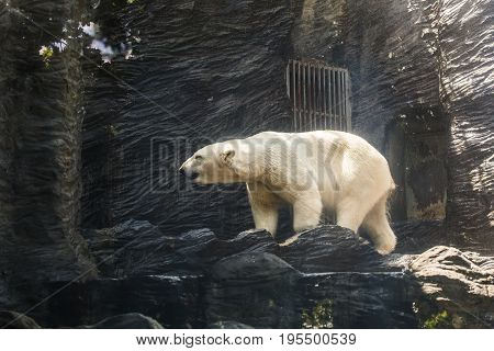 portrait of large white bear on ice in the zoo