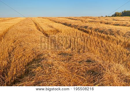 Field with wheat with a blue sky after harvesting