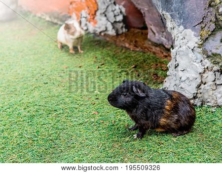 Guinea pig is a popular household pet
