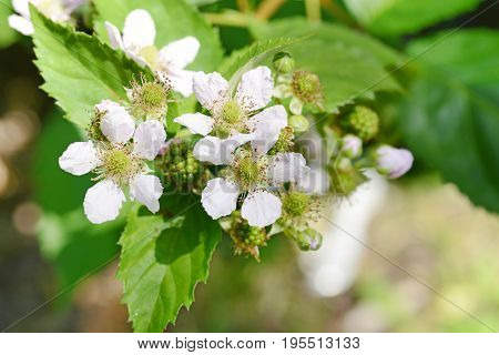 closeup of blackberry flowers and fruit on bush