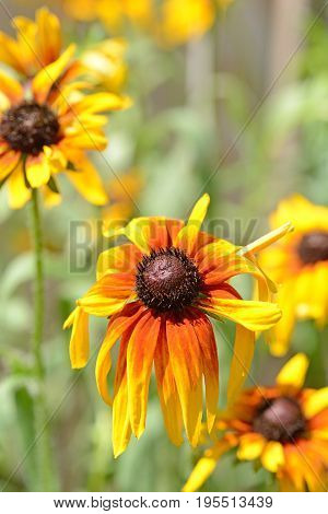 closeup of wilted black eyed susan in the sunshine
