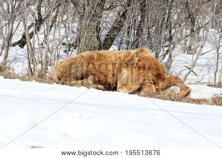 Little brown bull calf on the outside of a holding pen appears to be sleeping near a pile of snow.