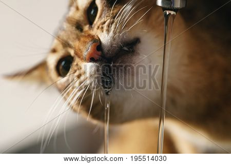 closeup shot of abyssinian cat drinking water from faucet, funny photo