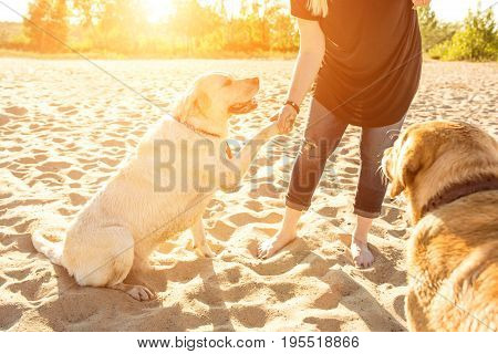 Two labrador friends playing on the beach. Two labradors on the sand with a young woman. Sun flare