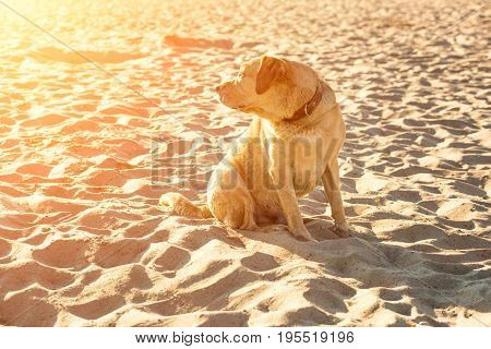 Labrador retriever on the beach. A red labrador sits on the sand. Sun flare