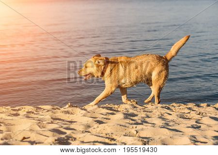 Labrador retriever on the beach. Red Labrador Runs On The Sand. Sun flare