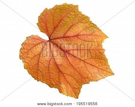 Vine leaf in autumn fall colour cut out and isolated on a white background