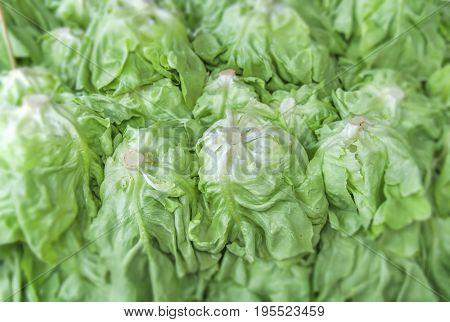 Butterhead organic healthy greenery salad on market